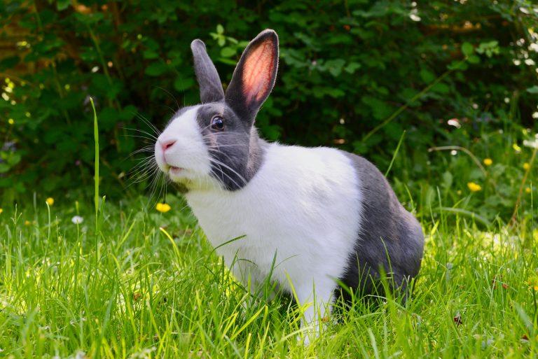 Histoire du lapin domestique